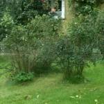 Snöbärsbuskar och cotoneastrar